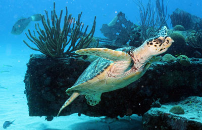 Dive Safaris Turtle